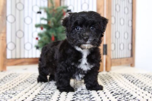 Yorkie Poo Puppies For Sale Florida Puppies Online